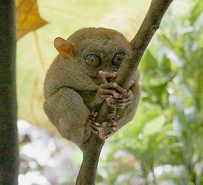 tarsier-philippines-11
